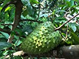100 Seeds of Soursop Graviola Annona Muricata Guyabano Tree Seeds for Commercial Farming.(100+ Hand Picked Seeds as Shown in 2nd.Image Will be Shipped)