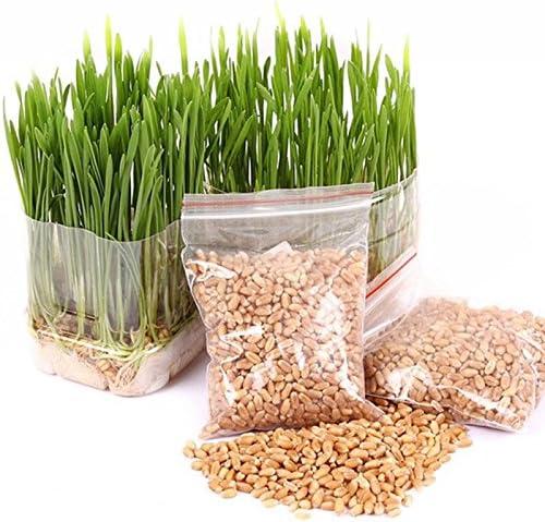 Portal Cool 400 Semillas de hierba de gato, Avena para perros, Animales antioxidantes, Comida sana, Avena Sativam: Amazon.es: Hogar