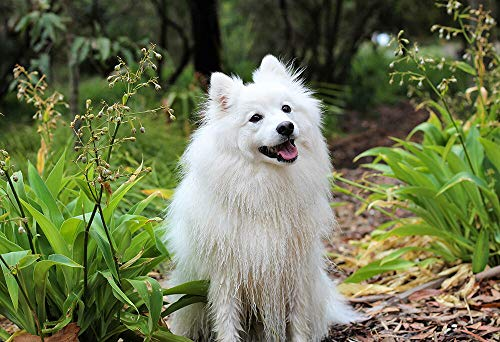 Yilooom Smiling American Eskimo Spitz - Animal Poster - Dog Photo - Dog Print - Wall Art