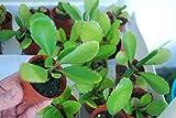 Rooted Starter Plant Bryophyllum Pinnatum Kalanchoe Pinnata Miracle Leaf Life Love Plant!