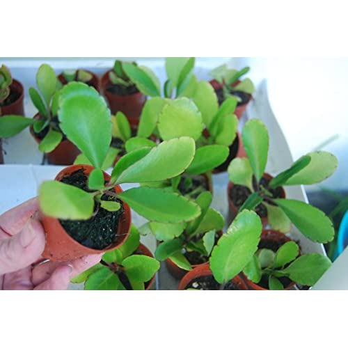 Cheap Bryophyllum Pinnatum Kalanchoe Pinnata Miracle Leaf Life Love Plant free shipping