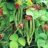 Outsidepride Scarlet Runner Beans Vine Plant Seed