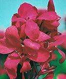 Crimson Beauty Dwarf Canna Lily Bulbs/Root/Plant/Rhizome/Start