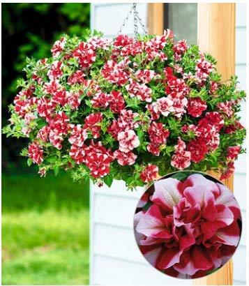 Garten Gef/üllte H/änge-Petunien Cherry Ripple,Zaubergl/öckchen Petunie Multi H/ängende Petunien f/ür Balkon und Terrasse Acecoree Samenhaus