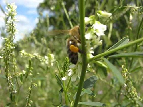Clover Sweet Honey (Hubam Sweet Clover Seeds - Most valuable plants for honey production.Great!!!!(1000 - Seeds))