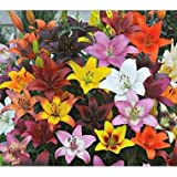Asiatic Lily Flower Bulb Mixed Collection (20)
