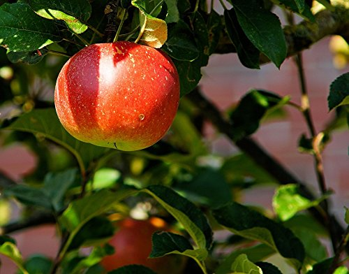 Branch Sweet (Home Comforts LAMINATED POSTER Apple Tree Red Herrlich Branch Fruit Sweet Apple Poster 24x16 Adhesive Decal)