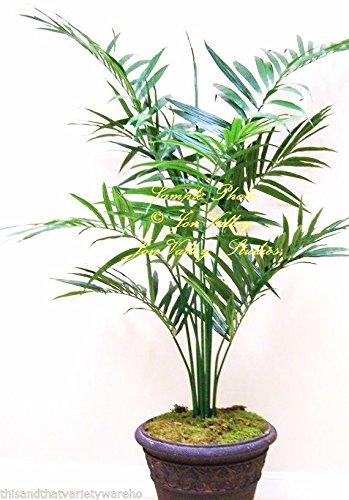 Howea Forsteriana Seeds Kentia Palm Houseplant or Standard Elegant Fronds (Kentia Palm Tree)