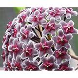 Hoya fusca - Porzellanblume - Wachsblume - 10 Samen