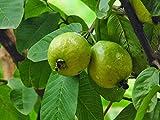 HOT - Psidium guajava True Guava Tree Seeds