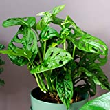 American Plant Exchange Monstera Adansonii Swiss