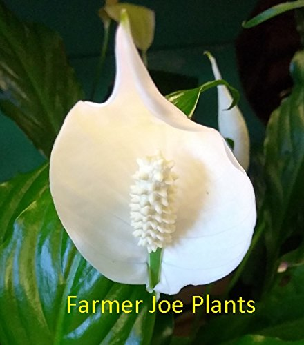 Peace Potted Lily (SPATHIPHULLUM - PEACE LILY - WHITE - LIVE PLANT - 4