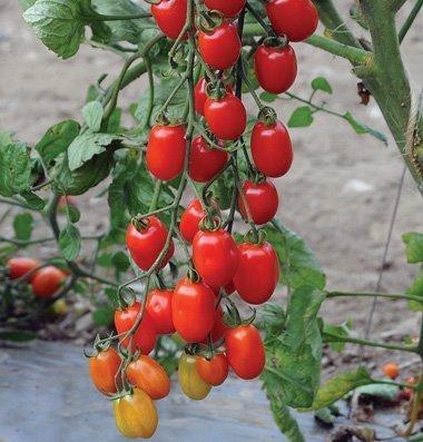 grape tomato - 3
