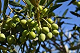 """New Olea Europeae - Mission Olive Tree , Potted Live Plant , Evergreen , 7"""" to 12"""""""
