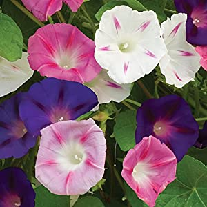 Burpee Zeeland Hybrid Mix Morning Glory Seeds 75 seeds