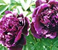 Purple Peony Seeds Big Flower Rare Beautiful 5 seed