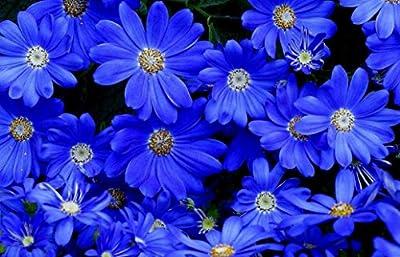"""Heirloom 50+ Annual Flower Garden Seeds - Daisy - """"Felicia the Blues"""" Unusual Blue Daisy"""
