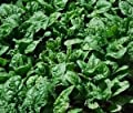 Noble Giant Spinach Seeds 100+ Seeds