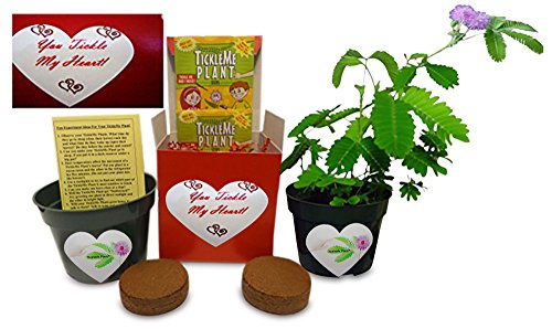 valentines-day-gift-plant-idea-you-tickle-my-heart-tickleme-plant-gift-box-share-growing-the-ticklem