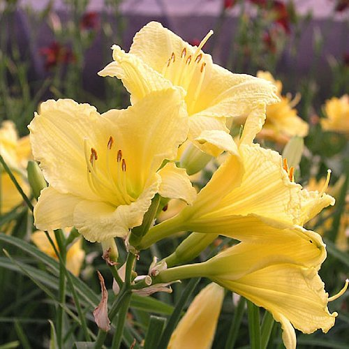 Daylily Happy Returns > Hemerocallis
