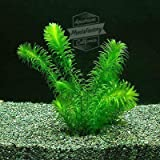 Anacharis Bunch Elodea Densa Aquatic Freshwater Aquarium Plants