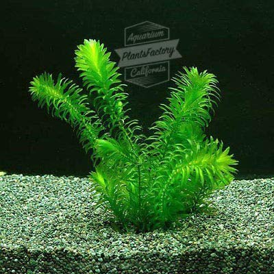 Anacharis Bunch Elodea Densa Aquatic Freshwater Aquarium Plants