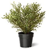 National Tree Argentea Plant with Round Green Plastic Pot, 24-Inch