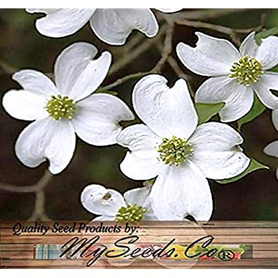 Risalana White Flowering Dogwood, Flowering Dogwood, Very Attractive in Winter Landscape - Cornus Florida Northern Tree Seeds - Zones 5+ (Pkt. Size) : Garden & Outdoor