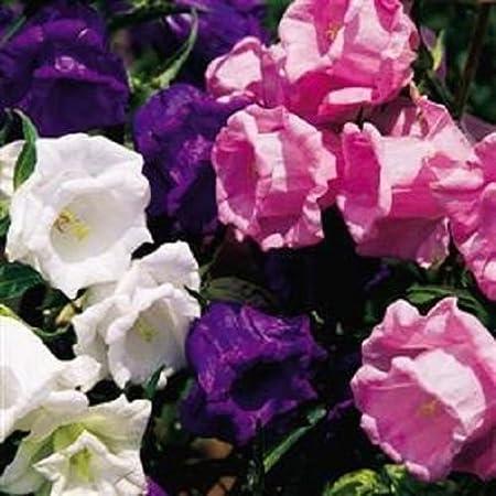BLUE DOUBLE PERENNIAL HEIRLOOM FLOWER SEEDS CAMPANULA CANTERBURY BELLS 50