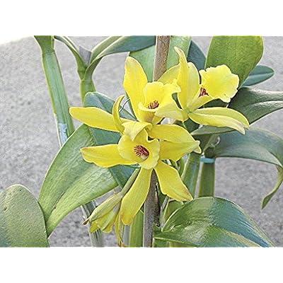 1 Cutting Rare Vanilla Planifolia Bean/Ready to Grow/in-Out Door : Garden & Outdoor