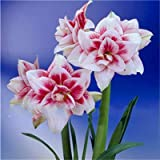 Ture Amaryllis Bulbs Hippeastrum Flower Roof Terrace Garden Patio Garden Barbados Lily Flower Bulbs-2 Pcs 22/24cm