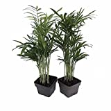 "Victorian Parlor Palm 2 Plants - Chamaedorea - Indestructable - 3"" Pots"