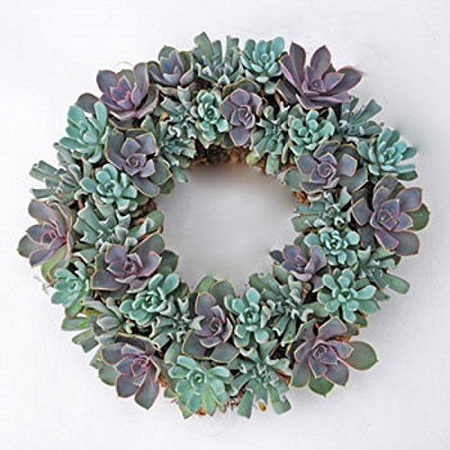 Echeveria Living Wreath [Kitchen]