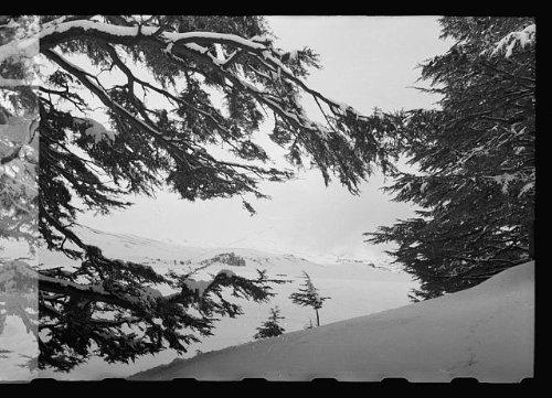 Photo: Cedars of Lebanon in snow - Sites Online Shopping Lebanon