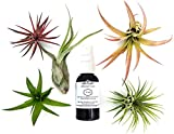 #8: 6 pcs Tillandsia Air Plant Lot / Kit includes 5 Plants and 1 bottle of Organic Air Plant Fertilizer Food. Indoor Plants measure 2