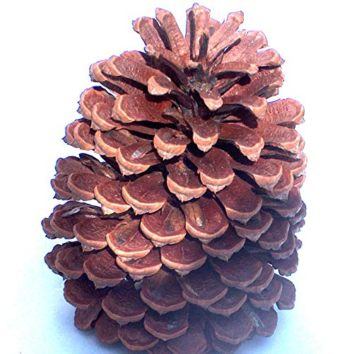 24 Pinecones 3 to 4 Inch Grown On Slash Ponderosa Pine Trees in Georgia for You to Decorate