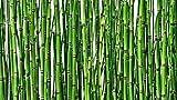 Equisetum Horsetail Live Bamboo Like Zen Koi Pond Water Garden Evergreen