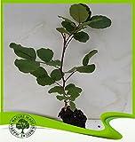 Ceratonia siliqua (Carob tree) - Plant