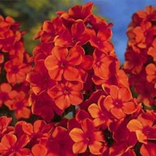 Phlox Orange Perfection paniculata Garden Flower 2.5'' Pot = 1 Live Potted Plant by SS0146