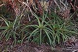 100 Seeds Hechtia myriantha - Large Rare Succulent