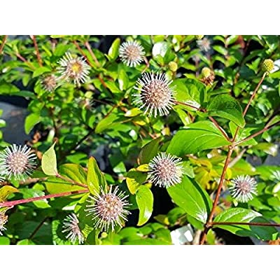30 Chinese Buttonbush Seeds - Adina Rubella : Garden & Outdoor