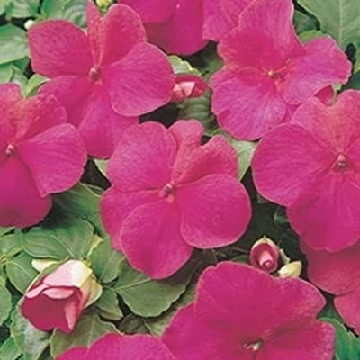 Impatiens- Walleriana Baby - Carmine- 50 Seeds : Garden & Outdoor