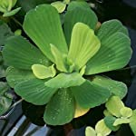 3 Water Lettuce + 3 Water Hyancinth Bundle + Parrot Feather - Floating Live Pond Plants 7