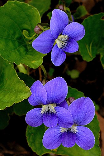 - (PV)~COMMON VIOLET~Seeds!!!~Edible Beauty!