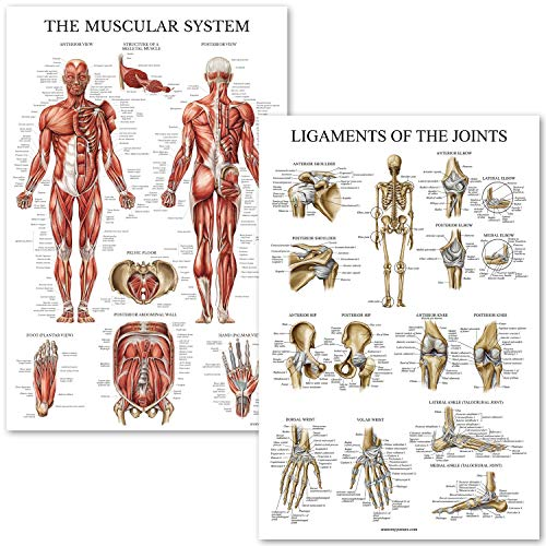 - Muscular System and Ligaments of The Joints Anatomical Poster Set - Laminated 2 Chart Set - Muscles and Ligaments Anatomy - 18 x 27