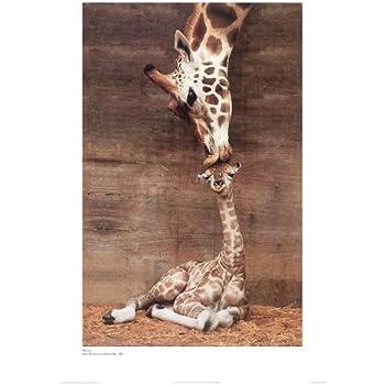 Giraffe, Mother Love, First Kiss by Ron D'Raine. Photo Print Poster (16 x 20)