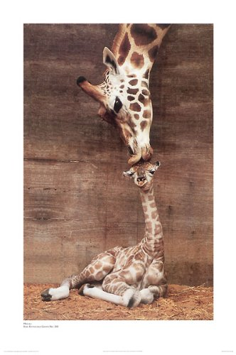 (Giraffe, Mother Love, First Kiss by Ron D'Raine. Photo Print Poster (16 x 20))