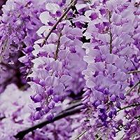 10 semillas semillas de glicina/bolsa semillas semillas de flores de árboles bonsai Wisteria árbol de 11 colores plantas…
