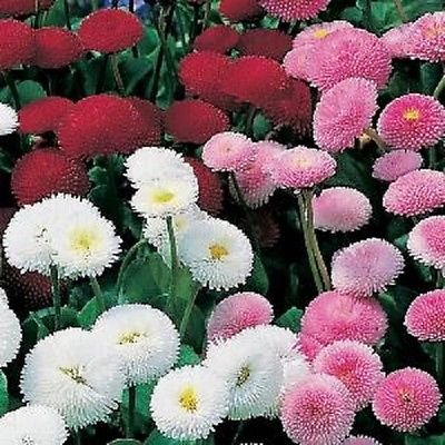 2bd54cd468c6 Amazon.com   500 Seeds Bellis Pomponette Mix Flower Seeds English ...
