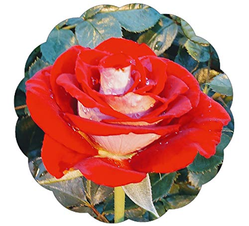 Stargazer Perennials Liberty Bell Rose Plant - Repeat Blooming Red Flowers - Cut Flower Rose Own Root Potted